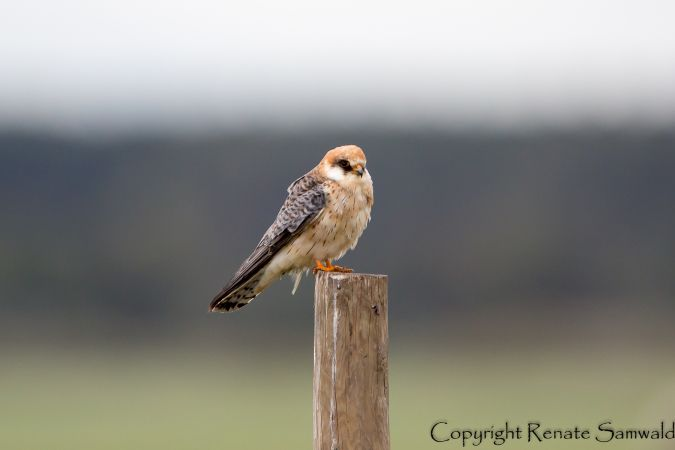 Red-footed Falcon  - Otto Samwald