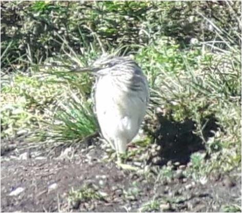 Squacco Heron  - Hartwig W. Pfeifhofer