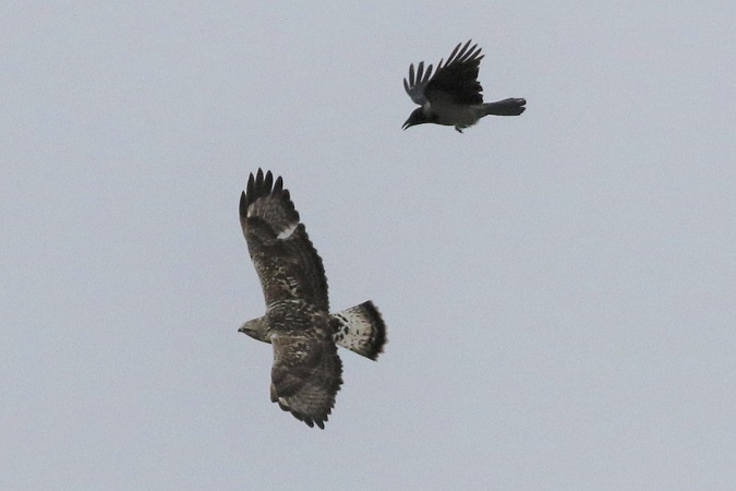 Rough-legged Buzzard  - Werner Petutschnig