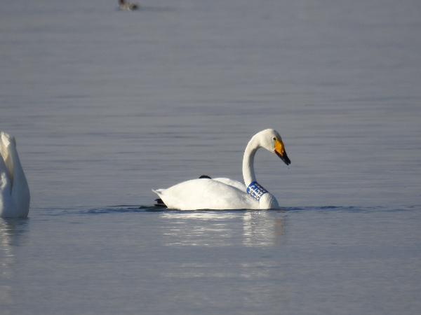 Whooper Swan  - Michael J. Erler