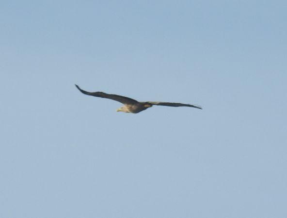 White-tailed Eagle  - Markus Weissinger