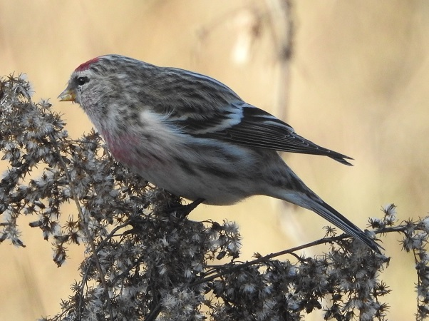 Mealy Redpoll  - Florian Mayr
