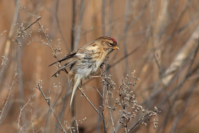 Mealy Redpoll  - Harald Pfleger