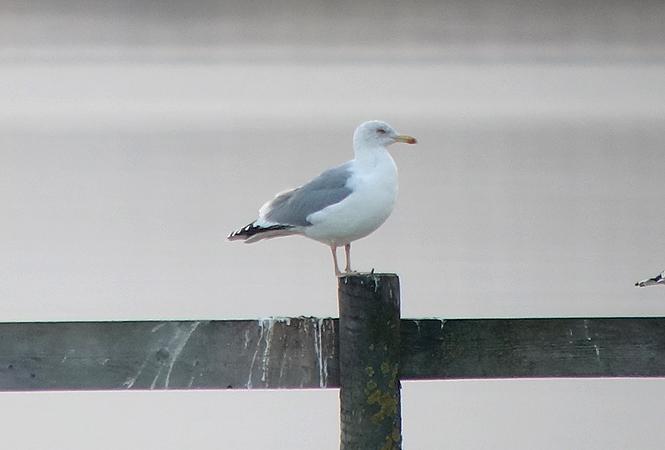 Herring Gull  - Andreas Ranner