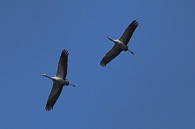 Common Crane  - Robert Welz
