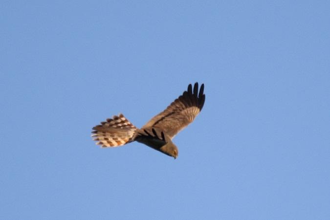 Montagu's Harrier  - Jakob Vratny
