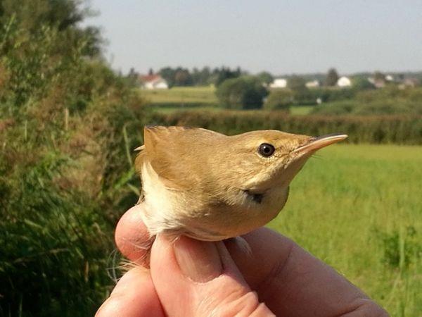 Blyth's Reed Warbler  - Rudolf Grassmugg