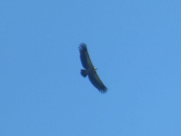 Griffon Vulture  - Werner Zimmermann