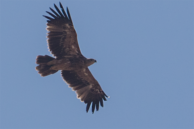 Eastern Imperial Eagle  - Thomas & Christa Pumberger