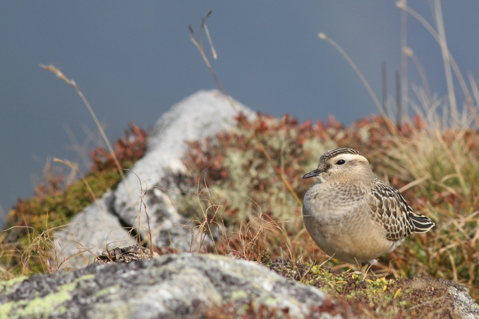 Eurasian Dotterel  - David Nayer
