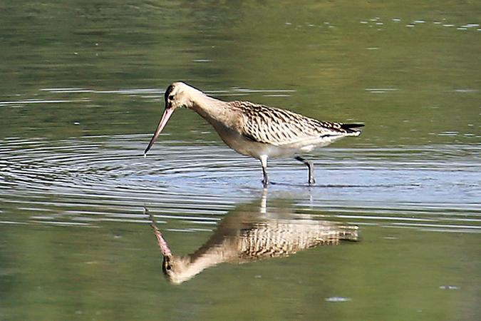 Bar-tailed Godwit  - Albert Peer
