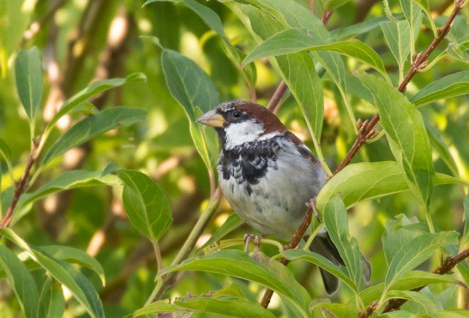 Italian x House Sparrow  - Ralph Winkler