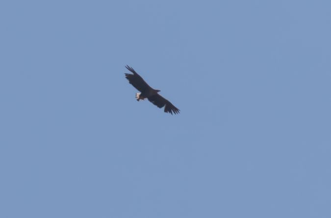 White-tailed Eagle  - Ralph Winkler