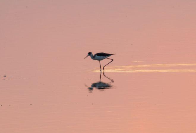Black-winged Stilt  - Ralph Winkler