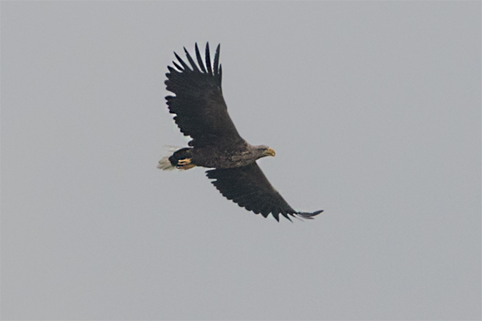 White-tailed Eagle  - Thomas & Christa Pumberger