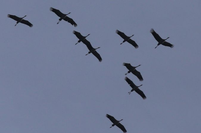 Common Crane  - Peter Denefleh