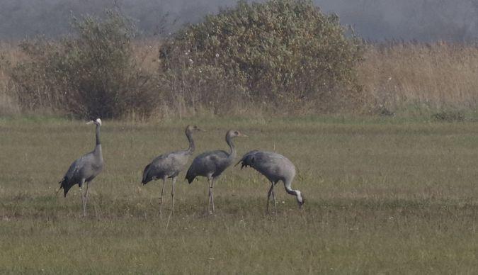 Common Crane  - Roman Matz