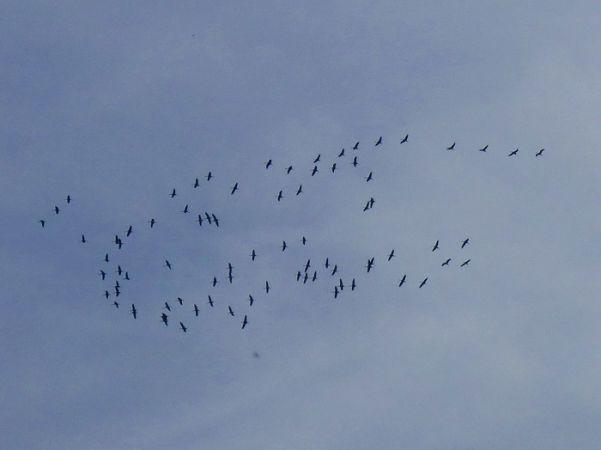 Common Crane  - Martina Sallocher