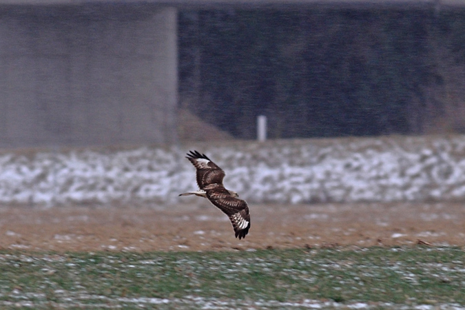Rough-legged Buzzard  - Harald Pfleger