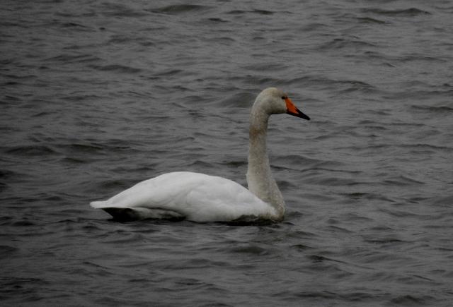 Whooper Swan  - Markus Weissinger