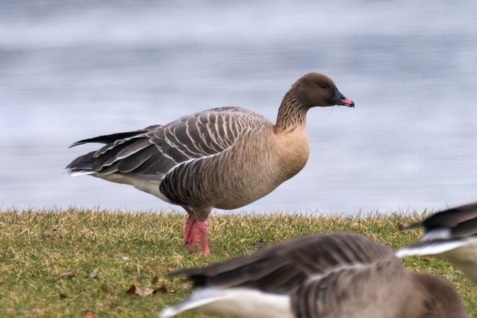 Pink-footed Goose  - Rainer Praschak