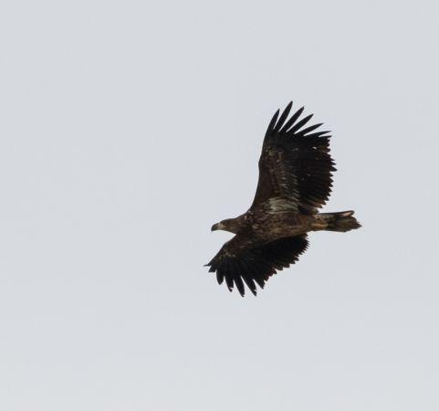 White-tailed Eagle  - Samuel Schnierer