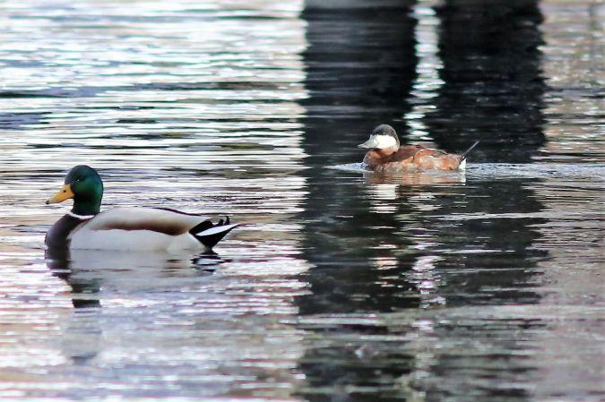 Ruddy Duck  - Peter Denefleh