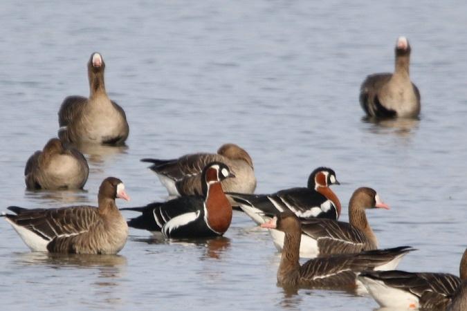 Red-breasted Goose  - Jakob Vratny