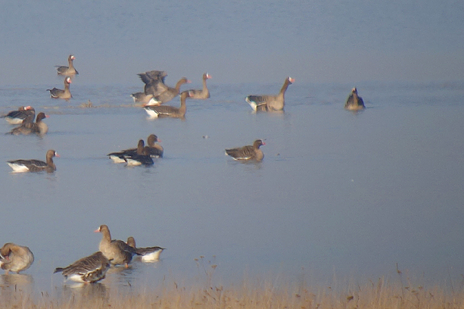 Lesser White-fronted Goose  - Andreas Ranner