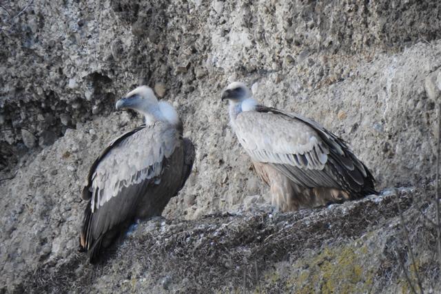 Griffon Vulture  - Christine Medicus