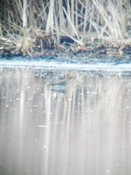 Black-tailed Godwit  - Rudolf Grassmugg
