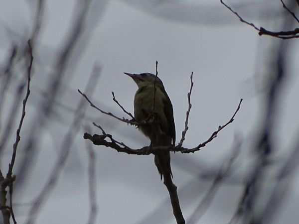 Grey-headed Woodpecker  - Alexander Foki