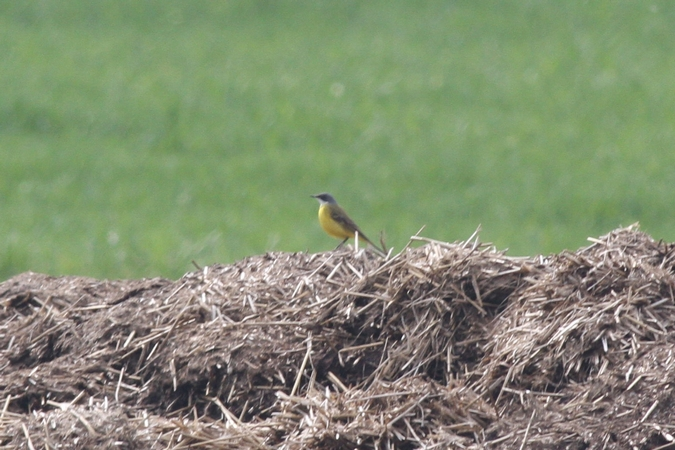 Western Yellow Wagtail (M.f.cinereocapilla)  - David Nayer