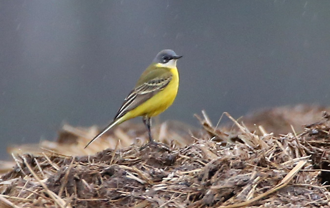 Western Yellow Wagtail (M.f.cinereocapilla)  - Günter Mandl