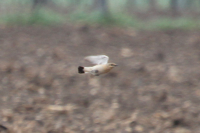 Isabelline Wheatear  - Andreas Ranner