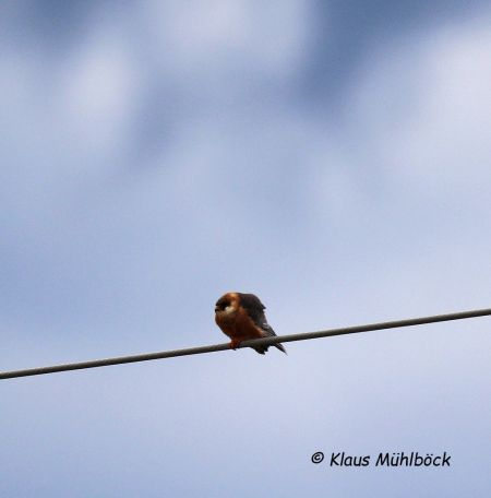 Red-footed Falcon  - Klaus Mühlböck