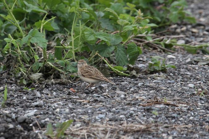 Greater Short-toed Lark  - Willibald Stani