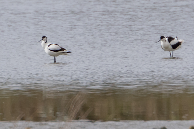 Pied Avocet  - Thomas & Christa Pumberger