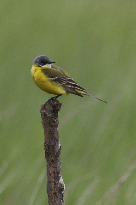 Western Yellow Wagtail (M.f.cinereocapilla)  - Johann Prost