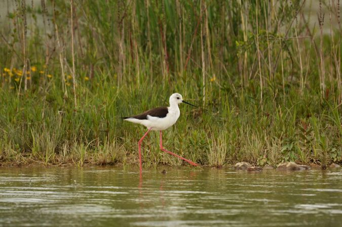 Black-winged Stilt  - Liliana Gómez & Klaus Cerjak