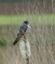 Red-footed Falcon  - Bruno Pichler
