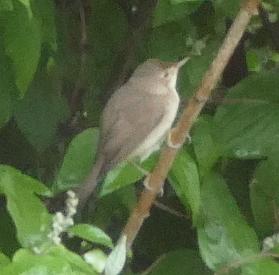 unidentified Bird  - Felix Kossak
