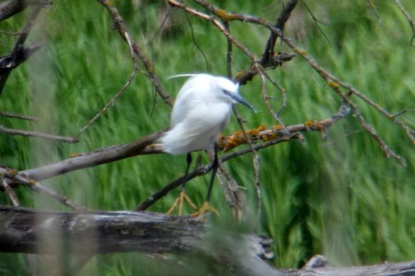 Little Egret  - Thomas Zuna-Kratky