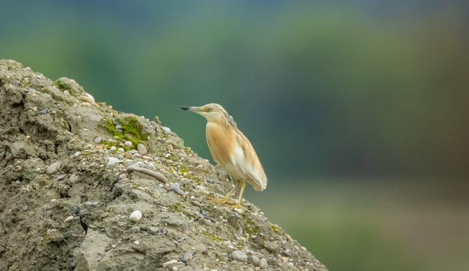 Squacco Heron  - Peter Rass