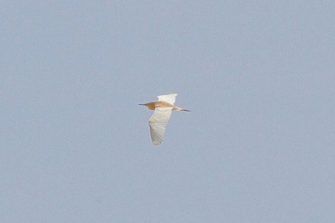 Squacco Heron  - Philip Bardone