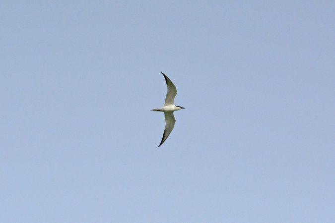 Gull-billed Tern  - Liliana Gómez & Klaus Cerjak