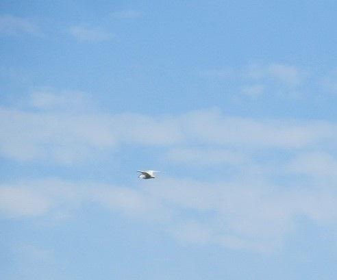 Whiskered Tern  - Rudolf Grassmugg