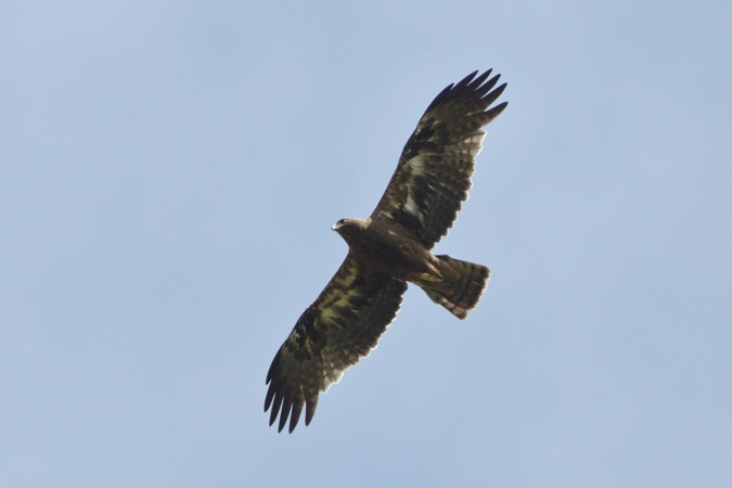 Booted Eagle  - Paul Wolf