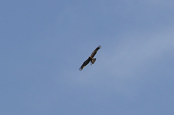 Booted Eagle  - Robert Welz