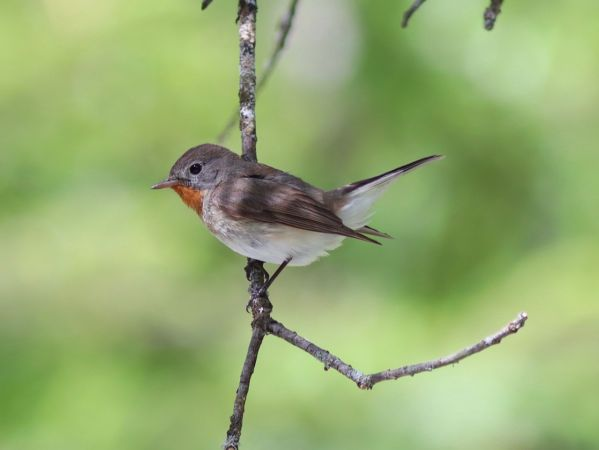 Red-breasted Flycatcher  - Helmut Frind